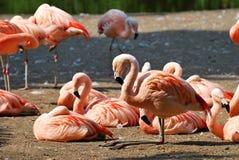 Chilean Flamingos Royalty Free Stock Photo