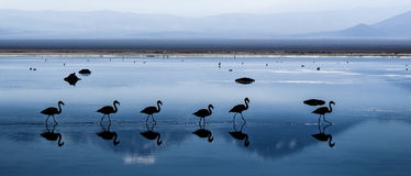 Free Chilean Flamingos Royalty Free Stock Image - 30925206