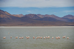 Chilean Flamingos on the Altiplano Stock Images