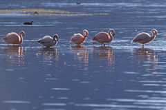 Chilean Flamingos on the  Altiplano of Northern Chile Royalty Free Stock Photos