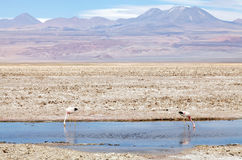 The Chilean flamingos at the Chaxa Lagoon, Chile Stock Images