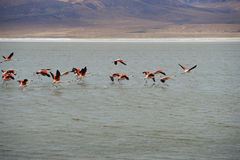 Chilean Flamingos in Flight Stock Images