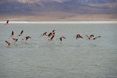 Chilean Flamingos in Flight Royalty Free Stock Photos
