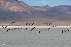 Chilean Flamingos in Flight Royalty Free Stock Photo