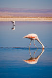 Chilean flamingos searching food in a lagoon. A couple of chilean flamingos walk through a lagoon in salar de atacama searching for food while they sink there Royalty Free Stock Photography