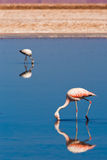 Chilean flamingos walk in a lagoon Stock Photography