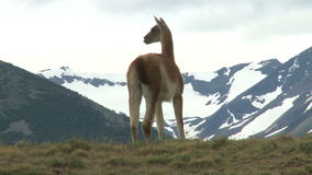 Chilean guanaco Royalty Free Stock Photos