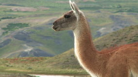 Chilean guanaco Royalty Free Stock Image
