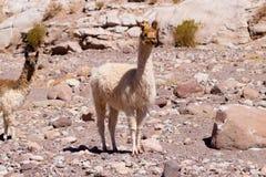 Chilean llama breeding,Chile. Chilean llama breeding on Andean plateau,Chile Stock Image