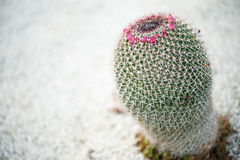 Chilean native cactus Royalty Free Stock Photo