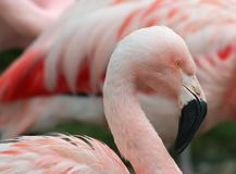 Chilean Pink Flamingo. With blurred flamingo background stock images