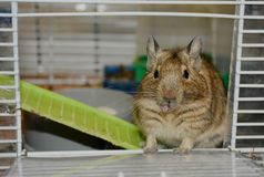 Chilean squirrel degu. Chilean protein dego is the perfect pet. The rodent feeds on special plant food. Hyperallergenic animal. Manual, obeys training stock photo