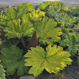 Chilean rhubarb Stock Images
