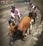 Chilean Rodeo, Huasos Working a Steer Stock Images