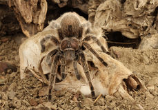 Chilean Rose Hair Tarantula. Chilean Rose Hair Tarantula (Grammostola rosea Royalty Free Stock Photos