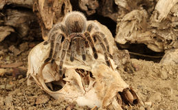 Chilean Rose Hair Tarantula. Chilean Rose Hair Tarantula (Grammostola rosea Stock Image