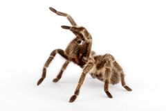Chilean Rose Hair Tarantula. (Grammostola rosea). The most friendly tarantula. This is one tarantula people handle. It is still not recommended Stock Images
