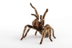 Chilean Rose Hair Tarantula Stock Photos
