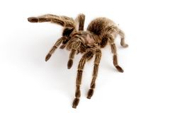 IN Chilean Rose Hair Tarantula. Chilean Rose Hair Tarantula (Grammostola rosea Stock Photo