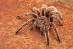 Chilean Rose Hair Tarantula. (Grammostola rosea). One of the most docile of tarantulas. This is generally the first pet tarantula people look for when buying Royalty Free Stock Photo