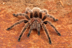 Chilean Rose Hair Tarantula. (Grammostola rosea). One of the most docile of tarantulas. This is generally the first pet tarantula people look for when buying Stock Photography