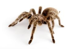 IN Chilean Rose Hair Tarantula (Grammostola rosea). Chilean Rose Hair Tarantula. One of the most docile of tarantulas. This is generally the first pet tarantula Stock Images