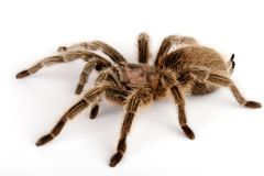 Chilean Rose Hair Tarantula (Grammostola rosea). Chilean Rose Hair Tarantula. One of the most docile of tarantulas. This is generally the first pet tarantula Royalty Free Stock Photo