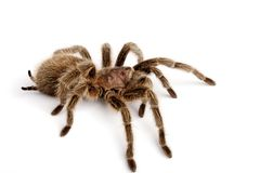 IN Chilean Rose Hair Tarantula (Grammostola rosea). Chilean Rose Hair Tarantula. One of the most docile of tarantulas. This is generally the first pet tarantula Stock Image