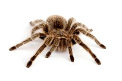 Chilean Rose Hair Tarantula (Grammostola rosea) Stock Photos