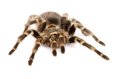 Chilean Rose Hair Tarantula on white background Stock Images