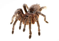 Chilean Rose Spider Royalty Free Stock Image