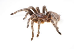 Chilean Rose Spider Stock Photo