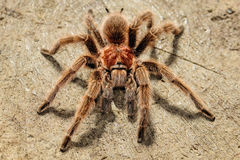 Chilean Rose Tarantula Royalty Free Stock Images