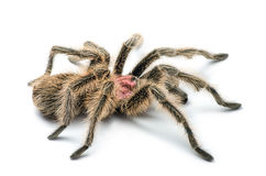 Chilean rose tarantula Royalty Free Stock Photos