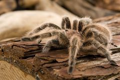 Chilean Rose Tarantula Royalty Free Stock Photo