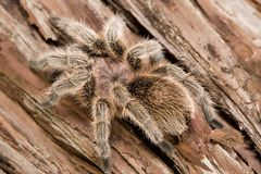 Chilean Rose Tarantula Stock Photos