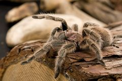 Chilean Rose Tarantula Royalty Free Stock Photography