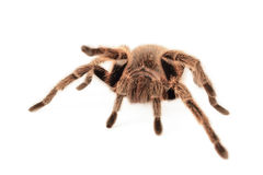 Chilean Rose Tarantula Stock Photography