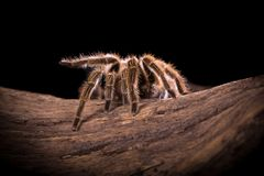 Chilean Rose Tarantula spider. Chilean Rose Tarantula large backlit spider with lots of hairy detail royalty free stock image