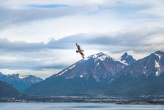 Chilean Skua Birds Flying Over Mountains In Beagle Channel - Ushuaia, Tierra Del Fuego, Argentina Stock Photography