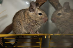 Chilean squirrel - Degu Stock Photo