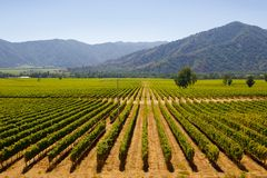 Chilean vineyards. In late summer in vina del mar, close to the capital santiago de chile royalty free stock image