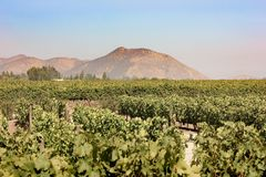 Chilean Winery. Wine fields at Chile. A valley with lots of grape fruits plants. Huge mountain on the background stock photo