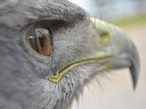 Chileens Blauw Eagle royalty-vrije stock foto