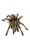 Chileens nam tarantula toe royalty-vrije stock foto