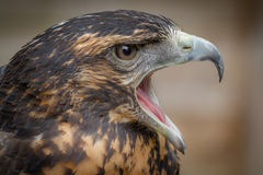 Chileense Blauwe Buizerd Eagle royalty-vrije stock foto's