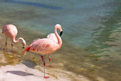 Chileense flamingo Royalty-vrije Stock Fotografie