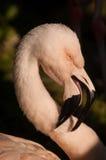 Chileense Flamingo (Phoenicopterus-chilensis) Stock Foto's