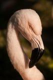 Chileense Flamingo (Phoenicopterus-chilensis) Royalty-vrije Stock Afbeelding