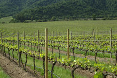 Chileense wijngaarden Stock Foto's